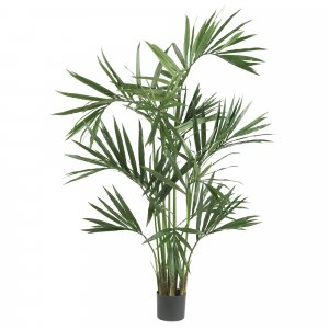 6' Kentia Palm Tree