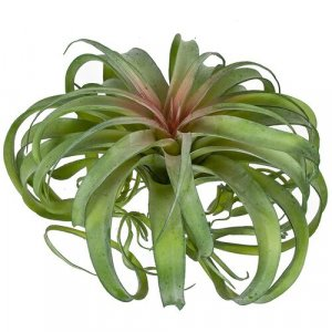 12.5 Inch Green Tillandsia Air Grass Plant