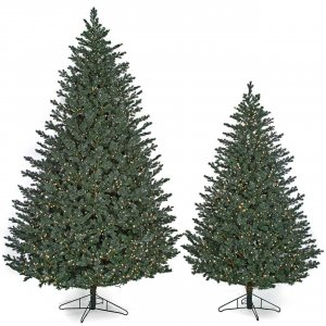 Full-Size Abington Blue Spruce Trees
