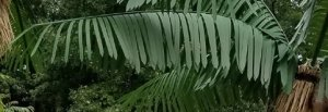 CP-1970 6.5' Long Giant Outdoor Caribbean Palm Branch