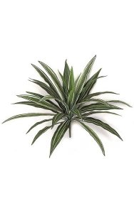 "16"" Dracaena Head - 30 Leaves - Green/White - Bare Stem"
