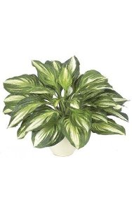 "17"" Hosta Plant - 34 Leaves - Green/White - Bare Stem"
