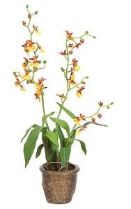 "18"" x 6"" Potted Cymbidium with Roots - Yellow Flowers"