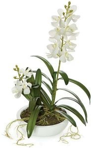"20"" Potted Vanda Orchid - 2 White Flowers - White Ceramic Pot"