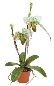 Potted Lady Slipper Orchid with Roots - Green/Cream Flowers