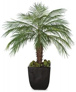 "5' Phoenix Palm Cluster - 60"" Wide - Bare Stem"