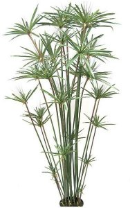 6' Papyrus Plant - 27 Heads - 477 Leaves - Green