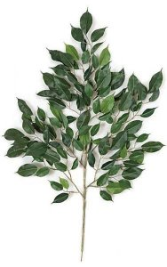 "24"" Nitida Ficus Branch - 126 Leaves - Green-sold by dozen"