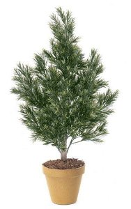 4' Podocarpus Bush - Natural Trunk - Tutone Green - Bare Trunk