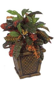 "20"" Croton Bush - 66 Leaves - Multi Color - Bare Stem"