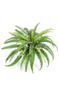 "Boston Fern - 38 Fronds - 18"" Width - Green - Bare Stem"