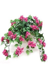 "22"" Bougainvillea Bush - 199 Leaves - 79 Flowers - Beauty"