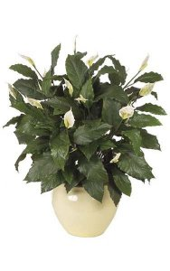 "44"" Spathiphyllum Bush - Soft Touch - Natural Trunk - 116 Green Leaves - 20 Cream/Green Flowers"