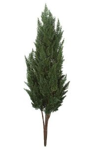 "56"" Large Cypress - 21"" Width - Green - Bare Stem"