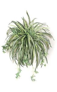 "24"" Spider Plant - 132 Leaves - 24"" Width - Green/White - Bare Stem"