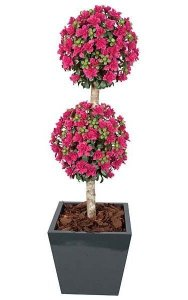 5' Azalea Double Ball Topiary - Natural Trunk - Beauty -Weighted Base