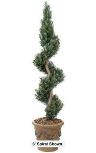 4' Podocarpus Spiral - Natural Trunk - Green - Weighted Base