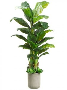 6' Banana Tree w/Succulent in Fiber Cement Planter Green