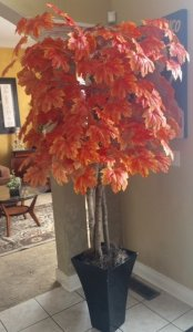 6' Fall Maple Tree