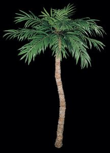 10'-14' Coconut Palm