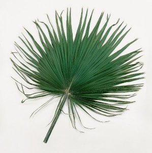Large Preserved Washingtonia Frond