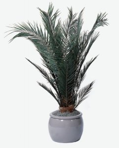 W-960 6' Preserved Canariensis Palm Bush