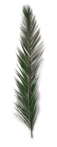 "50"" 58"" Preserved Canariensis Palm Frond  (Set of 5)"