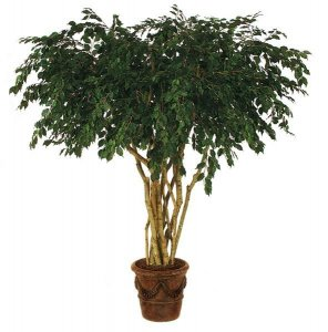 8' Custom Ficus Tree - Natural Trunks - 6,666 Leaves - Green - Weighted Base With a 7' extra wide canopy Top!