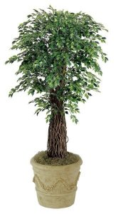 7' Mini Ficus Tree