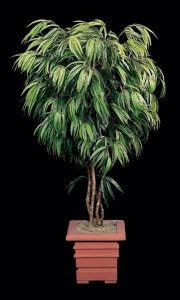 Ficus Alii Tree Custom made in any height