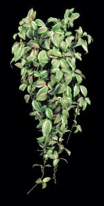 Faux Life Like Wandering Jew Vine