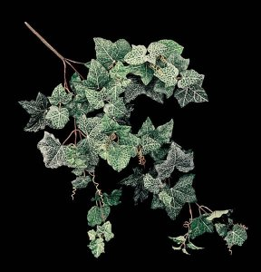 Frosted English Ivy Vine Sold In a set of 6