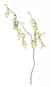 "Curly Willow Branch - 4 off shoots -150 leaves -brown leaves -brown stem -62 "" length  Sold in a set of 6"