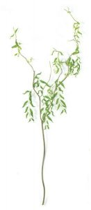 "Curly Willow Branch - 4 off shoots -150 leaves -green leaves -green stem -62 "" length   Sold in increments of 6"
