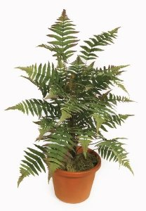 "34"" Forest Fern Cluster Sold Out"