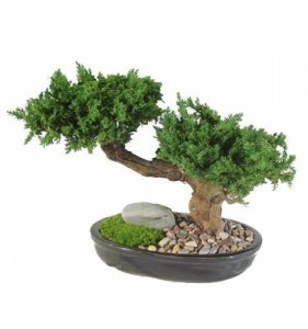 "Preserved Monterey Bonsai in 20"" & 30"" Heights"