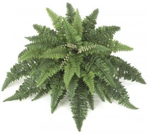 "39"" Wide Boston Fern"