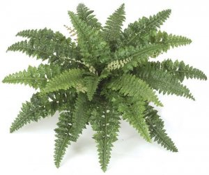 "27"" Wide Boston Fern"