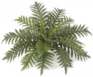 "34"" Wide Hare's Foot Fern"