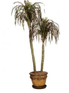 Dracena PonyTail Palm Sold Out
