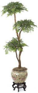W-3033 Custom Made 6' Ming Aralia Bonsai Tree  with 3 Heads Or select your branch style!