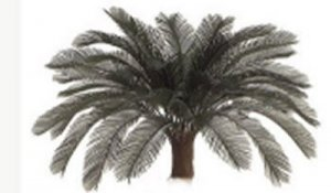 A-0046 Larger Cycas Palm Head 24 or 36 fronds 5' to 6' wide 3' to 4' Tall
