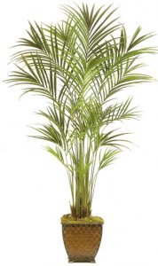 EF-5434 8' Kentia Palm Tree 1870 lVS