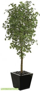 "W-70580 7' Gingko Tree - Synthetic Trunk - 1,860 Green Leaves - 33"" Width - Weighted Base"