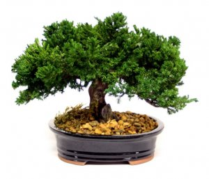"EF-0008 10"" Single Preserved Monterey Bonsai"