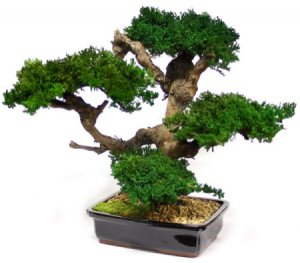 "EF-0020 Large 4 head Monterey Bonsai 20"" to 24"" Tall"