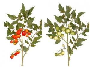 "EFT-13/12 20"" Tomato Spray Bush 19–.625"" to 1.25"" Styro Tomatoes, 44–1.625"" to 3"" Flocked Leaves. Comes in Red or Green (Sold in A 6 PC Set)"
