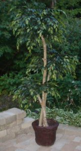 EF-2500 6' Polyblend Outdoor 3 head Ficus Tree 6'- 3.5'- 4.5' - on natural wood 2,000 Leaves