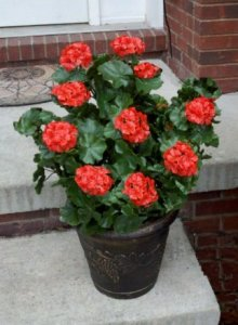"EF-145R 26"" Extra Full Geranium Bush - 134 Leaves - 10 Flowers - 8 Buds (Comes in Red, White or Pink)"