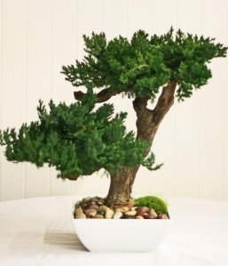 "EF-0127 Preserved Bonsai stands 20"" tall and 15"" wide in this decorative white ceramic container 10"" x 10"""